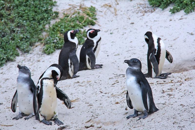El 2020 sigue sorprendiendo ¿Pingüinos en la península de Paraguaná? (video) 8