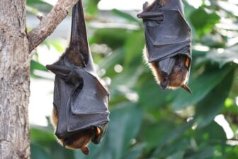 Descubren que los murciélagos practican el «distanciamiento social» cuando están enfermos 1