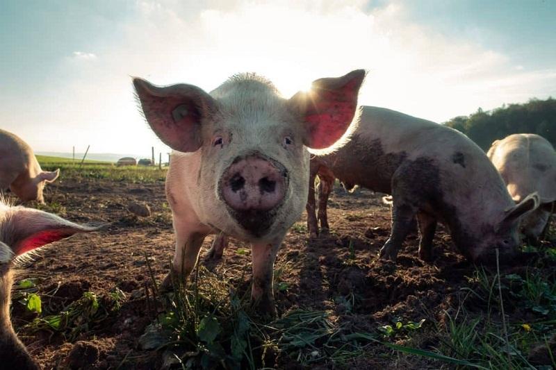 Confirman que una variante del virus del Ébola es capaz de infectar a los cerdos y transmitirse a los seres humanos 8