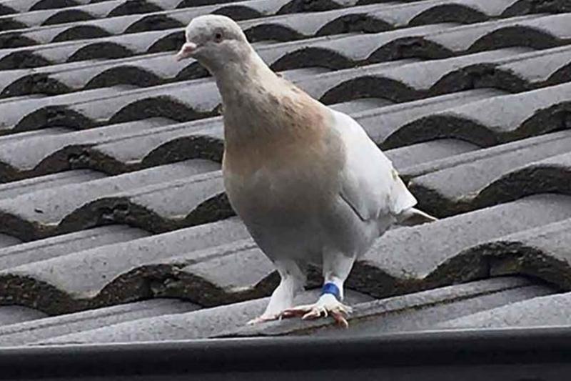 """""""Joe"""", la paloma que hizo un extraordinario viaje de EEUU a Australia y será sacrificada por no cumplir la cuarentena 1"""